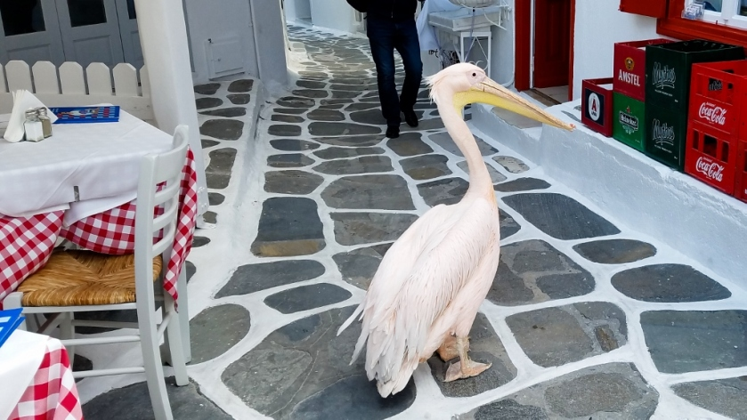 The pelican, Petros II, is the island mascot.
