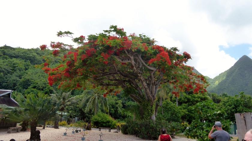 A beautiful Royal Poncianna Tree