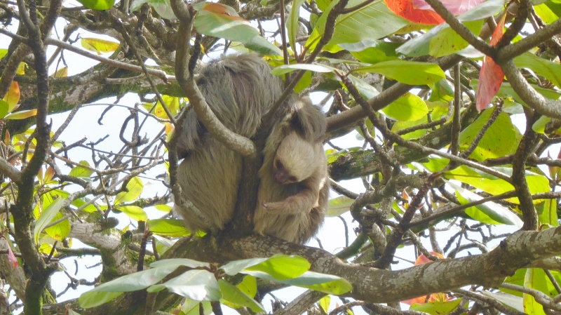 Mama and baby sloths in a tree at Vargas Park