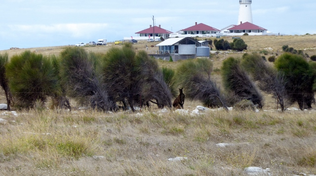 Cape Willoughby Lighthouse.  Note the Kangaroo in the foreground!