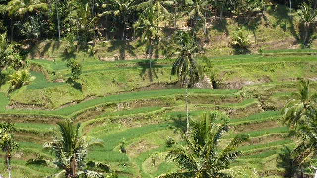 Terraced Rice Paddies outside Ubud