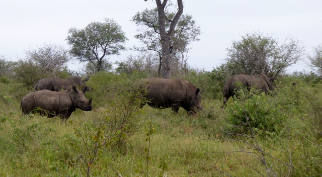 Rhinos on the move.