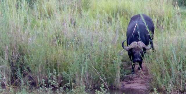 The Cape Buffalo looks like its hair has been styled into a center-part!