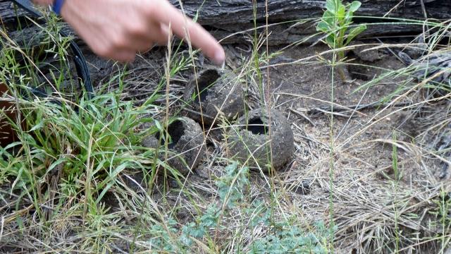 Empty Dung Beetle balls.