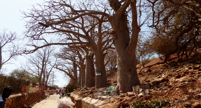 Passing some Baobab Trees as we return to the harbor.