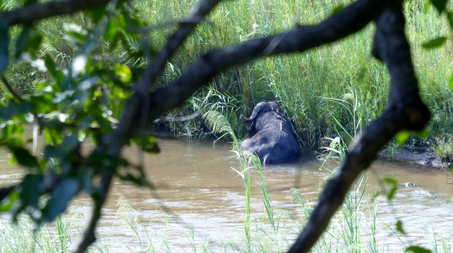 A Cape Buffalo seen in the Sabie River from the Lion Sands Narina Lodge!