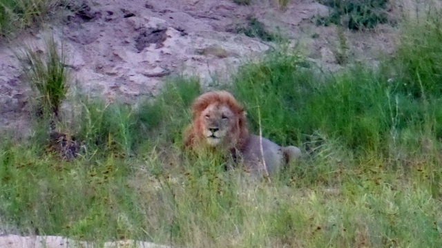 Male Lion on the prowl.