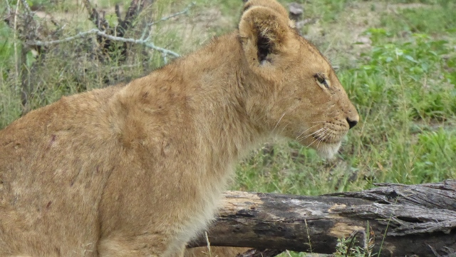 Stately female lioness.