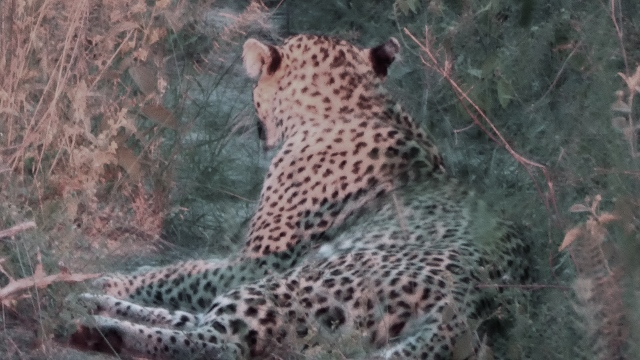 Leopard seen at night and photographed with the red spotlight.