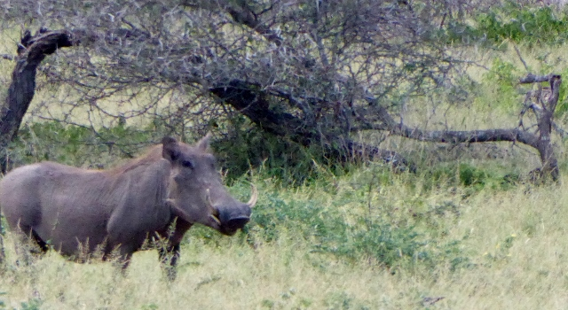 This is a face only a mama warthog could love!