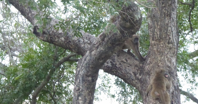 Baboons in the trees.