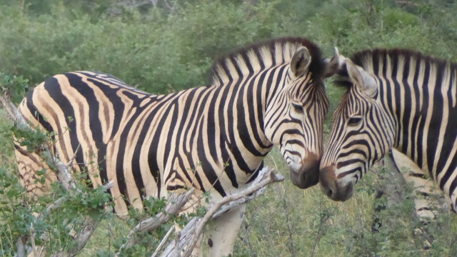 Zebras having a conversation????