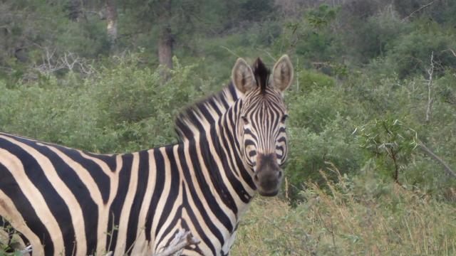 Zebras find us interesting to watch, also.