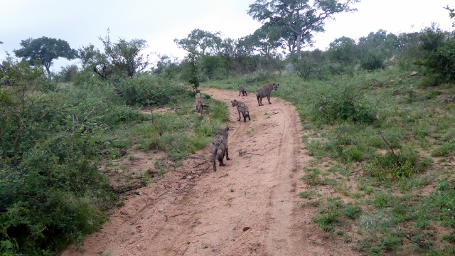 Spotted Hyenas just walking along the road.