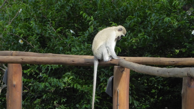Vervet Monkey sitting on the railing outside our cottage!