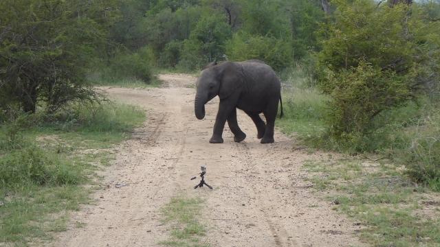 Elephant meets go pro.