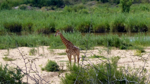 And a giraffe seen along the way!