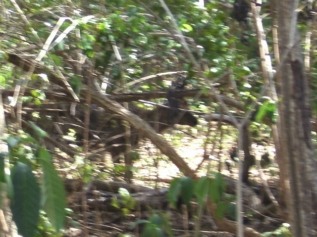 A Timor Deer on Komodo Island.  Dinner actually!