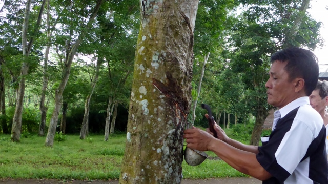 Rubber trees, like maple trees, are tapped.