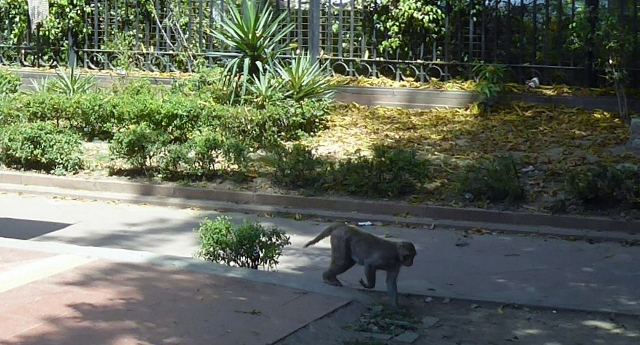 And another monkey is just walking down the sidewalk!