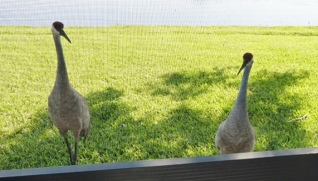 These two Sandhills came by our back patio just to say,