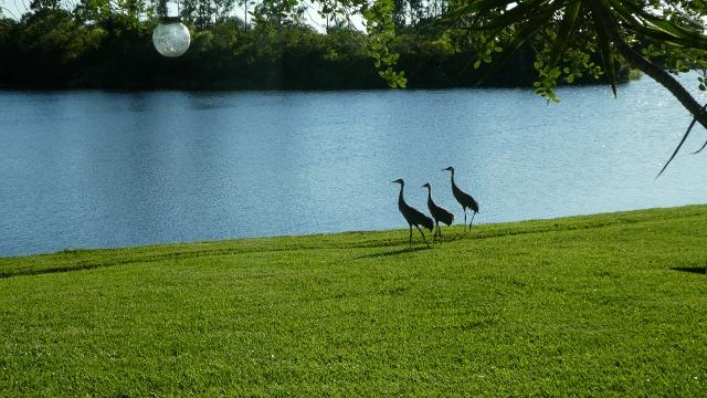 Sandhill Cranes in a Row