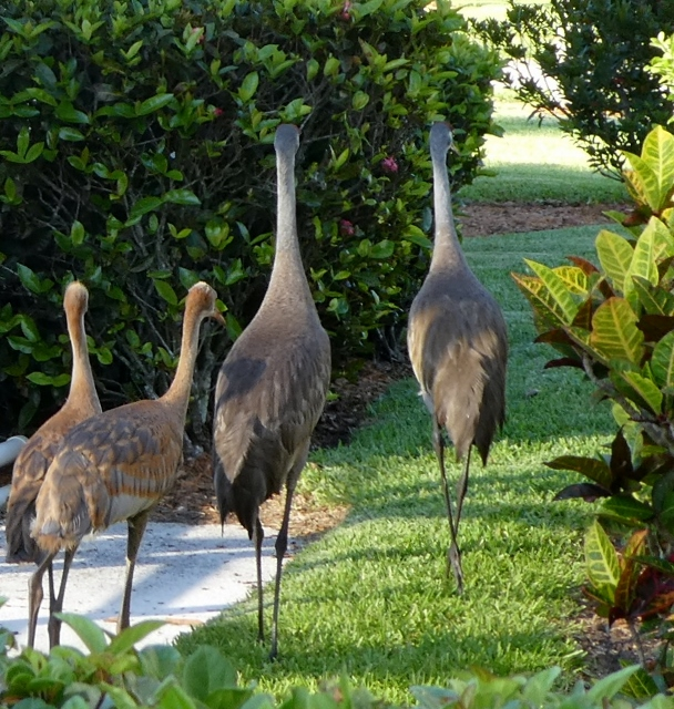 Sandhill Cranes, Going Home, All in a Row