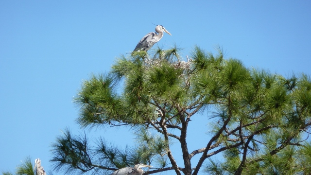 Herons will obviously sit in the trees, also!