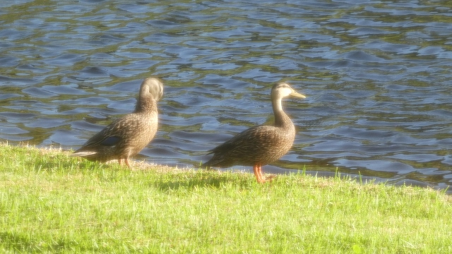 And, of course, the ducks.