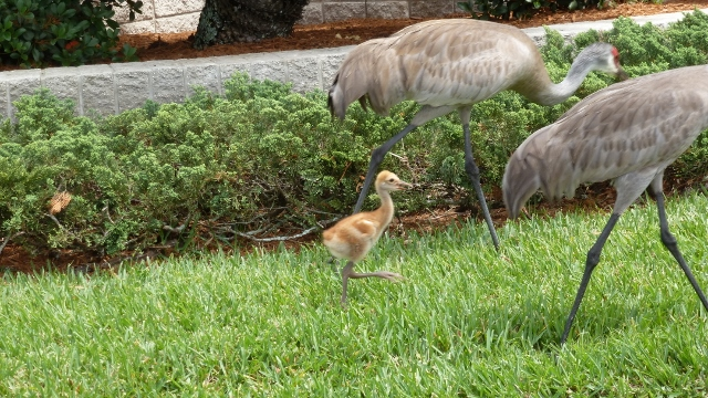 And our favorites--the Sandhill Cranes.