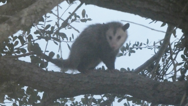 Only once did we spot a opossum in the tree.