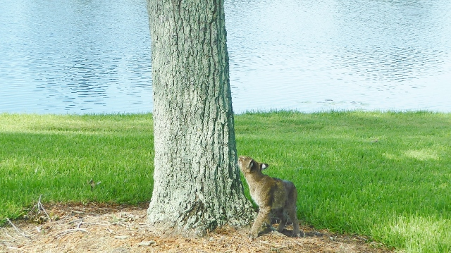 The bobcat spots a squirrel.