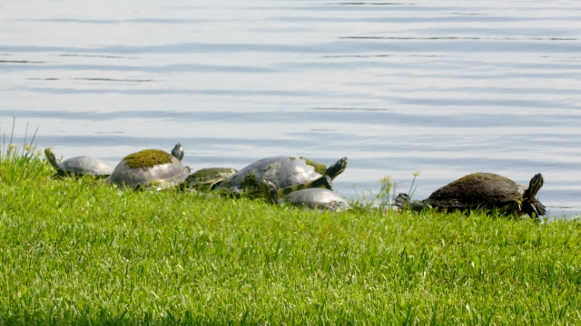 Often, we'll see the turtles lined up along the shore to take the sun.